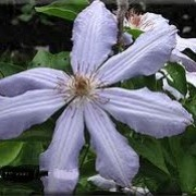 Clematis 'Lusti' (08/11/2012)  added by Shoot)