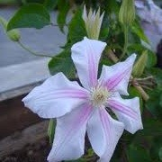 Clematis 'Motiiv' (01/01/2013)  added by Shoot)