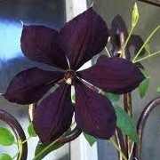 Clematis 'Negritianka' (31/12/2012)  added by Shoot)
