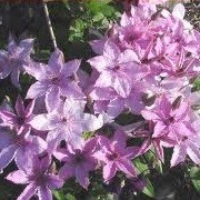 Clematis 'Percy Picton' (31/12/2012)  added by Shoot)