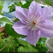 Clematis 'Petite Anna' (31/12/2012)  added by Shoot)