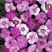 Dianthus plumarius (31/12/2012)  added by Shoot)