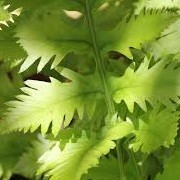 Polypodium cambricum 'Richard Kayse' (31/12/2012)  added by Shoot)
