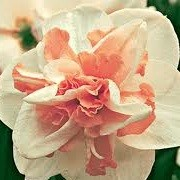 Narcissus 'Delnashaugh' (31/12/2012)  added by Shoot)