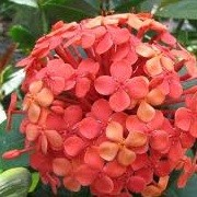 Ixora coccinea (31/12/2012)  added by Shoot)