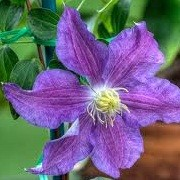 Clematis 'Rituaal' (29/12/2012)  added by Shoot)