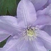 Clematis 'Silver Moon' (29/12/2012)  added by Shoot)
