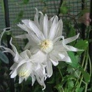 Clematis 'Stagione' (29/12/2012)  added by Shoot)