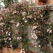 Clematis 'Sunny Side' (23/12/2012)  added by Shoot)