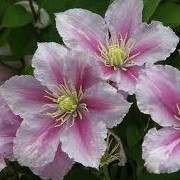 Clematis 'Tartu' (23/12/2012)  added by Shoot)