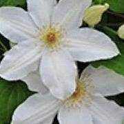 Clematis 'Wanda Rutkiewicz' (19/12/2012)  added by Shoot)