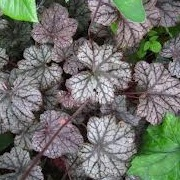 Heuchera 'Silver Shadows'
