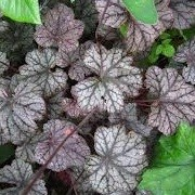 Heuchera 'Silver Shadows' (18/12/2012)  added by Shoot)