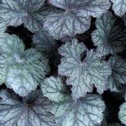 Heuchera 'Pinot Noir' (18/12/2012)  added by Shoot)