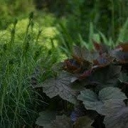 Heuchera 'Mocha' (18/12/2012)  added by Shoot)