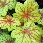 Heuchera 'Electric Lime' (13/12/2012)  added by Shoot)