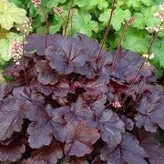 Heuchera 'Creole Nights' (13/12/2012)  added by Shoot)