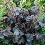 Heuchera 'Blackout' (13/12/2012)  added by Shoot)