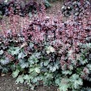 Heuchera 'Smokey Rose'