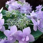 Hydrangea macrophylla 'Jogasaki' (17/12/2012)  added by Shoot)
