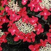 Hydrangea macrophylla 'Lady in Red'