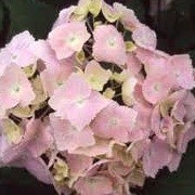 Hydrangea macrophylla 'Frillibet' (17/12/2012)  added by Shoot)