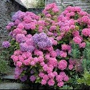 Hydrangea macrophylla 'Gartenbaudirektor Kuhnert' (17/12/2012)  added by Shoot)