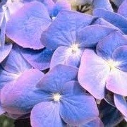 Hydrangea macrophylla 'Mathilde Gutges' (14/12/2012)  added by Shoot)
