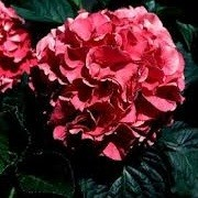 Hydrangea macrophylla 'Prinses Beatrix' (14/12/2012)  added by Shoot)