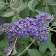Buddleja 'Lochinch' (03/03/2017) Buddleja 'Lochinch' added by Shoot)