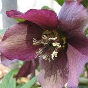 Helleborus x hybridus 'Blue Lady' (Lady Series) (18/01/2013)  added by Shoot)