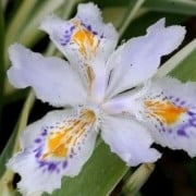 (29/01/2021) Iris japonica 'Variegata' added by Shoot)