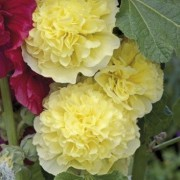 Alcea rosea Chater's Double Group yellow-flowered  (30/07/2016) Alcea rosea Chater's Double Group yellow-flowered added by Shoot)