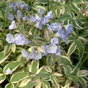 (16/04/2018) Polemonium reptans 'Touch of Class' added by Shoot)