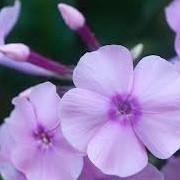 Phlox paniculata 'Valentina' (30/01/2013)  added by Shoot)