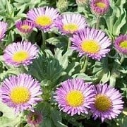 Erigeron glaucus (27/01/2013)  added by Shoot)