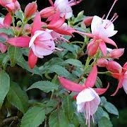 Fuchsia 'Rose Fantasia' (17/02/2013)  added by Shoot)