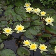 (03/01/2019) Nymphaea 'Pygmaea Helvola' added by Shoot)