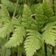 Dryopteris carthusiana (21/02/2013)  added by Shoot)