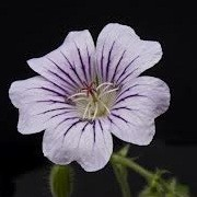 Geranium 'Karen Wouters' (18/03/2013)  added by Shoot)