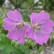 Geranium 'Sirak' (18/03/2013)  added by Shoot)