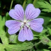 Geranium 'Terre Franche' (18/03/2013)  added by Shoot)