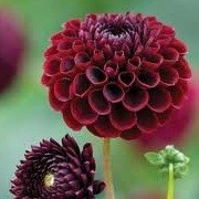 Dahlia 'Jowey Mirella' (17/03/2013)  added by Shoot)