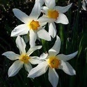 Narcissus 'Lucifer' (15/04/2013)  added by Shoot)