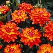 Dahlia 'Firepot' (15/04/2013)  added by Shoot)