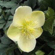 Helleborus x ericsmithii 'Ice Breaker Max' (14/04/2013)  added by Shoot)