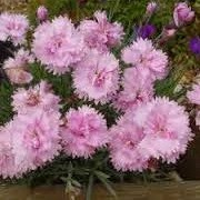 Dianthus 'Pike's Pink' (26/04/2013)  added by Shoot)
