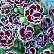 Dianthus 'Rembrandt' (26/04/2013)  added by Shoot)