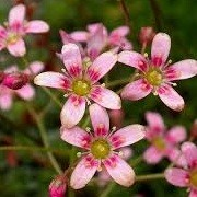 Saxifraga 'Hare Knoll Beauty'  (31/05/2013)  added by Shoot)
