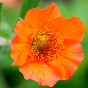 Geum 'Totally Tangerine' (Avens 'Totally Tangerine') (03/06/2017) Geum 'Totally Tangerine' added by Shoot)